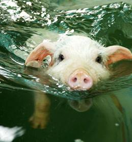Pictures Baby Pigs on Cuteness Alert  Baby Pigs That Swim    The Worley Gig